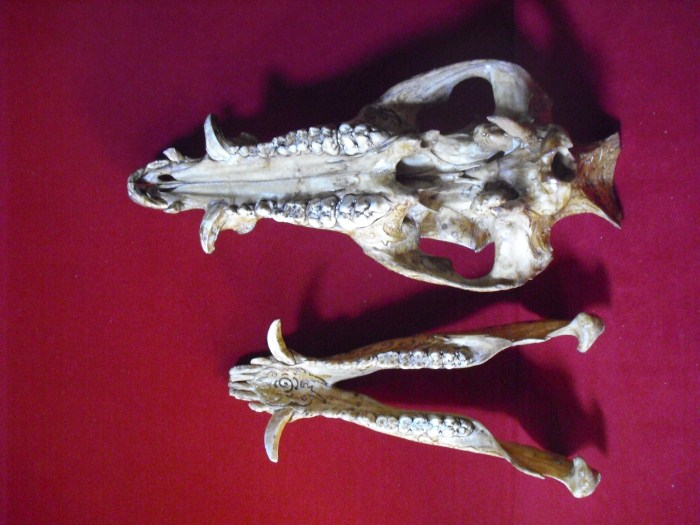 Wild Boar Skull With Dayak Carving Carving Product